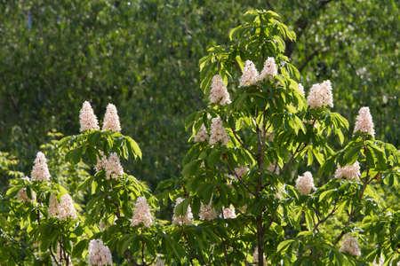 Kiev decorative chestnuts blossom in the spring with beautiful pyramidal flowers. Kiev, Ukraine. Archivio Fotografico