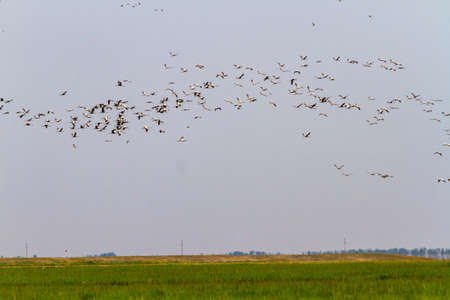 From a green grassy field a huge flock of storks soars into the sky