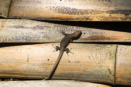 The lizard crawls along the old bamboo. Background or texture.