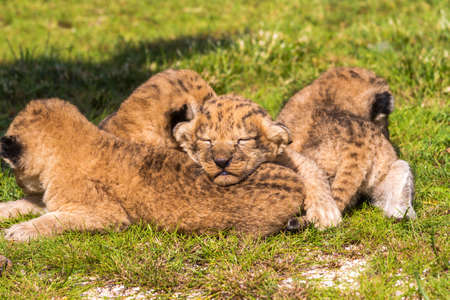 Four very small lion cubs on a green lawn. They just five weeks, this is their first trip without a mother, rare shots.After a short walk cubs quickly tired. Archivio Fotografico