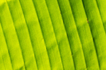 A large green leaf on the sunrise. Background or texture.