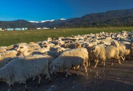 A flock of sheep is walking along the road, Georgia. Against the background there is a green valley and snowy mountains.
