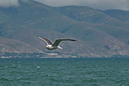 Sevan lake, Armenia, Seagull fly