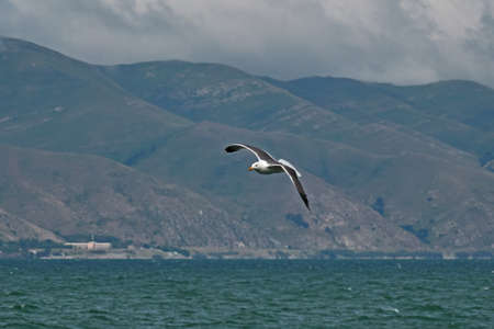 Armenia, Seagull fly,  Sevan lake,