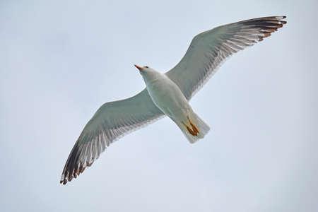 Seagull soaring fly,    Armenia,