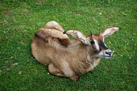 Animal close-up photography Antelope lying green meadow and looks up.