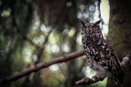 Animal close-up photography.  Spotted owl observe the surroundings..