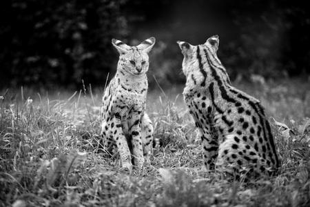 cheetah cub: Animal close-up photography. Cheetah babies sits and look at each other.