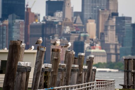 Seagulls at the Old Ferry Dock on Liberty Island near New York City, USA - Image Stock Photo - 127874378