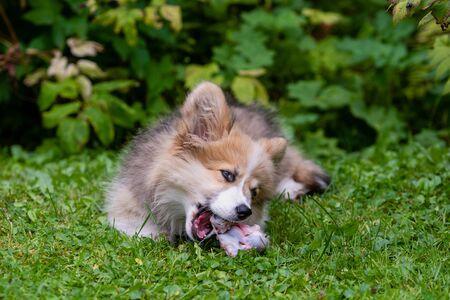 Welsh Corgi puppy lying in a green grass near a bush and gnawing a bone.