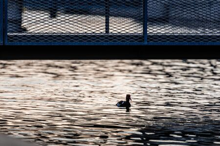 Duck silhouette in evening chair on city canal under pedestrian bridge - image Reklamní fotografie