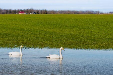 Whooper swan (Cygnus cygnus), Whooper swan feeding and resting on green flooded meadows  near rural houses in March, Latvia, 2020 版權商用圖片