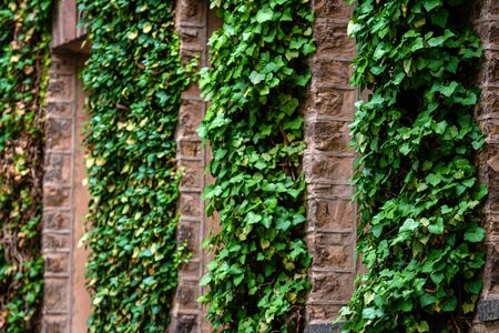 creeping plants, ivy on the ancient stone building walls, plants and landscape design, selective focus