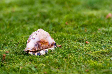 bottom part of queen conch shell in the green grass, close-up
