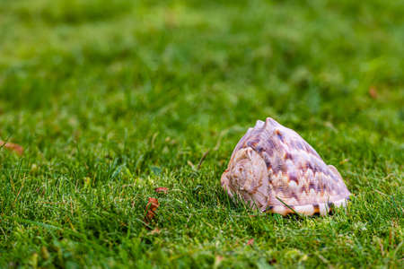queen conch shell in the green grass, close-up Banque d'images