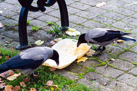 a swarm of crows in the park at the rubbish bin eats leftover food from a plastic box