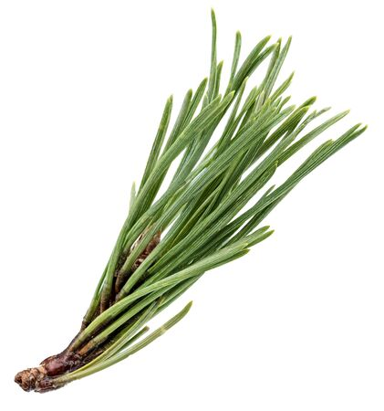 Pine tree branch isolated on white with clipping path