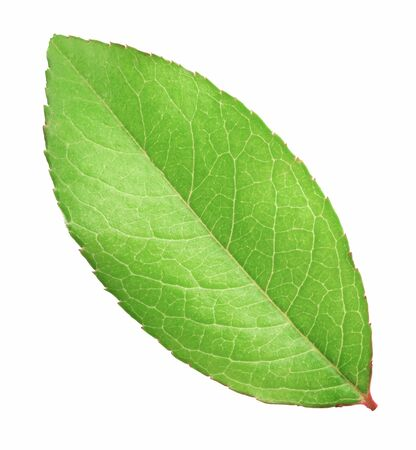 Fresh green leaf isolated on white background with clipping path Stock Photo