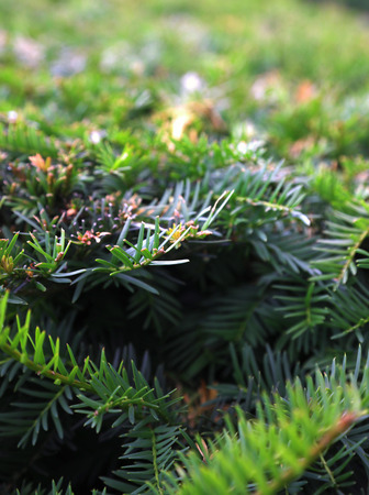 Close up photo of green conifer bush. Blurred background. Stock Photo