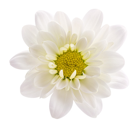 Daisy flower (camomile , marguerite, chamomile) isolated on white background with clipping path Stockfoto