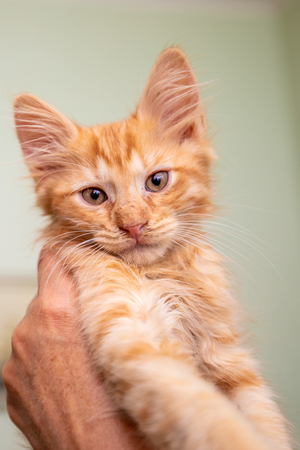 Funny little red striped kitten is playing at home
