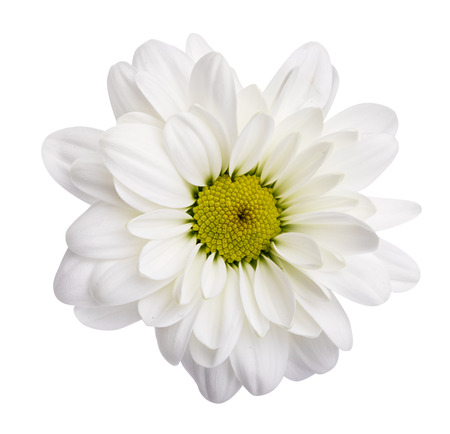 White daisies, chamomiles isolated on white background