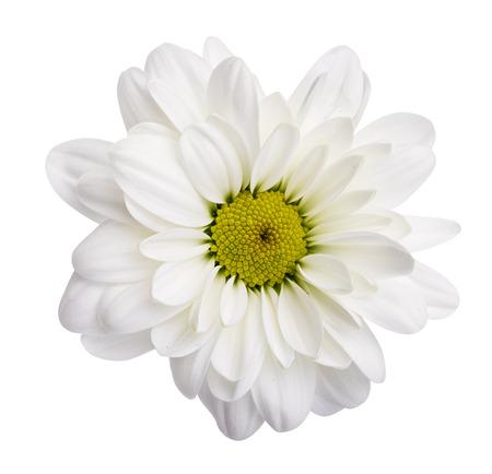 Margherite bianche, camomille isolate su priorità bassa bianca