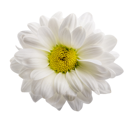 White daisy isolated on white background. Clipping path Stok Fotoğraf