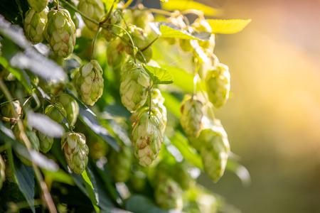 Green  hops in the garden in the morning light