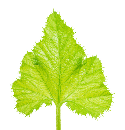 Green zucchini leaf isolated on white background. Clipping path