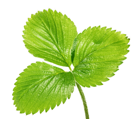 Green leaf of strawberry isolated on white background. Clipping path
