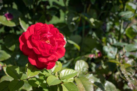 Red rose on a green background 版權商用圖片 - 140992649