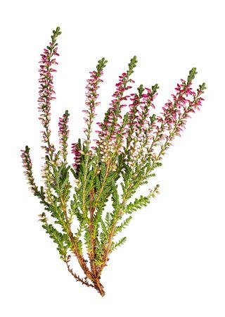 Calluna flowers (heather) isolated on white background