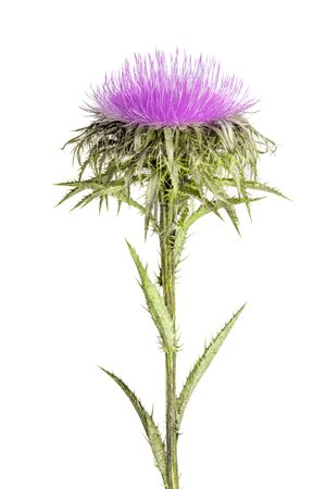 Carline Thistle isolated on white background