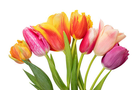Tulip isolated on white background. Clipping path Banque d'images