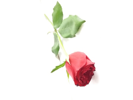 A red rose flower can describe the feeling of love and hatred at the same time 版權商用圖片