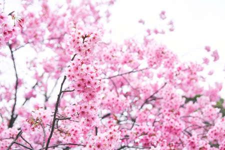 Sakura Spring Tokyo Cherry Blossom