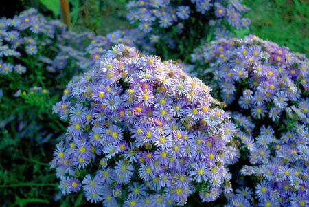 large purple bushes grow September flowers under the evening sun 写真素材 - 138838425