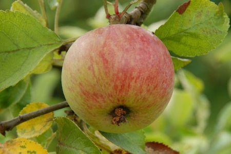 Photo of Apple on an Apple Tree photo