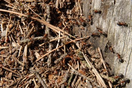 pismire: ants Stock Photo