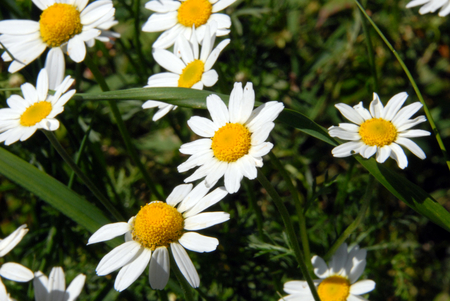 a host of camomile basking in the summer sun photo