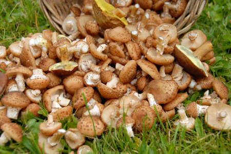 Mushrooms on background of green grass. Autumn. Banco de Imagens