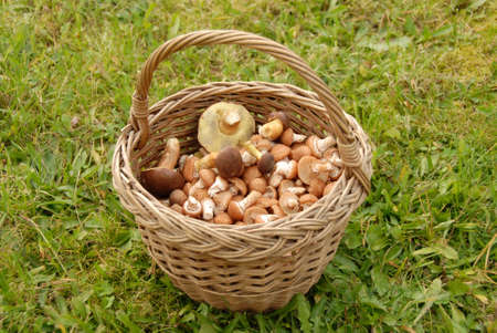 Mushrooms in basket on background of green grass