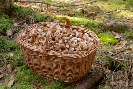 Mushrooms in big basket on background of green grass