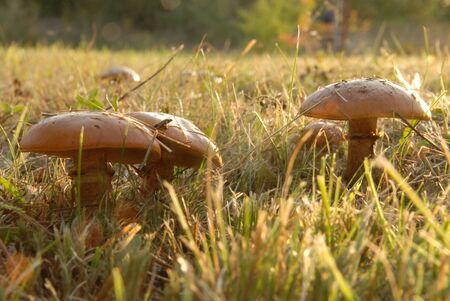 mycelium: Autumn scene: Mushroom and grass on field Stock Photo