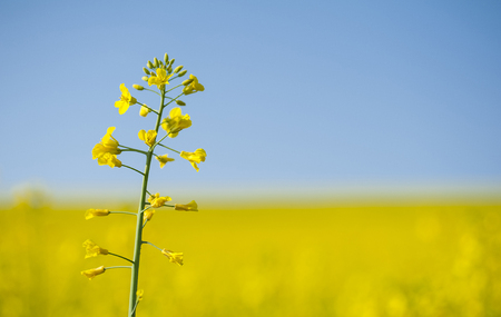 oilseed rape: Lonely blooming oilseed rape on yellow canola field background Stock Photo