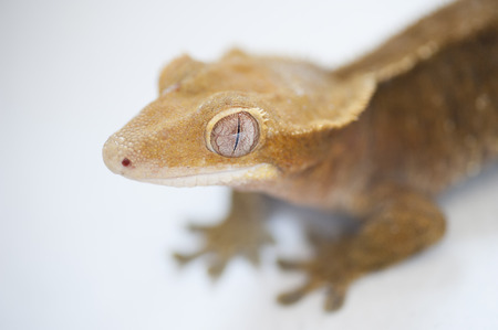A portrait of a New Caledonian Crested Gecko (Rhacodactylus ciliatus) Isolated on white..