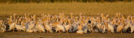A flock of Stork