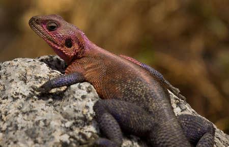 The Agama Lizard in Africa