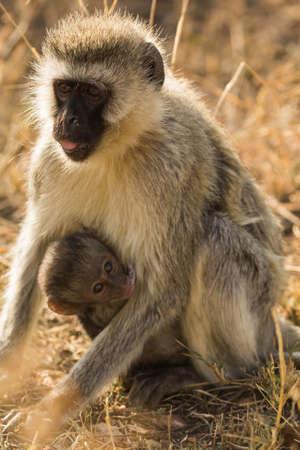 Monkey with an infant Reklamní fotografie